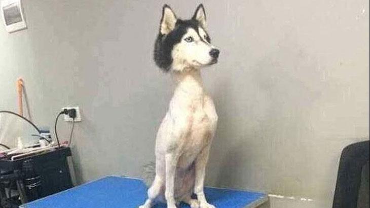 Foto de cachorro Husky Siberiano com os pelos raspados choca e intriga internautas