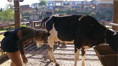 Cátia Pagonote cuida da vaca