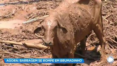 Vaca coberta pela lama em Brumadinho