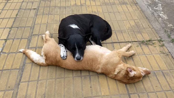 Comovente: Cão zela corpo da companheira morta em atropelamento