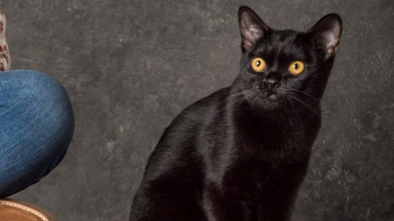 Gato León em O Sétimo Guardião