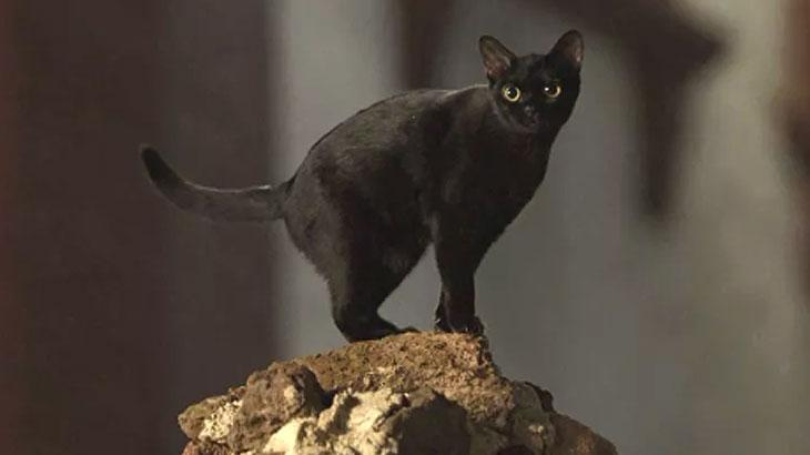 Gato Leon de