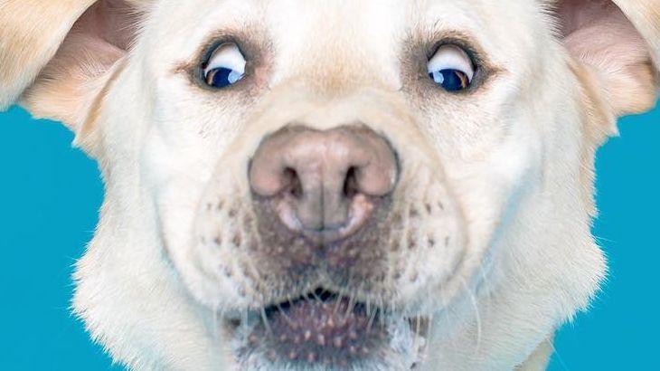 Se fosse um cão de raça, qual seria?