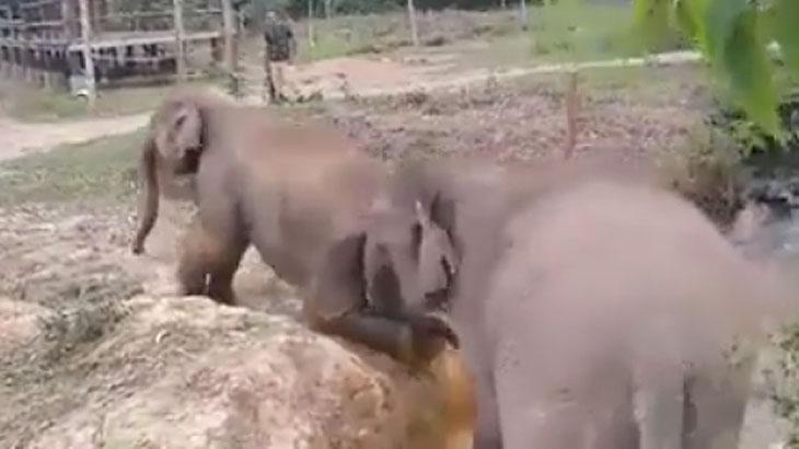 Elefante toma atitude e salva filhote de córrego; veja o que ele fez